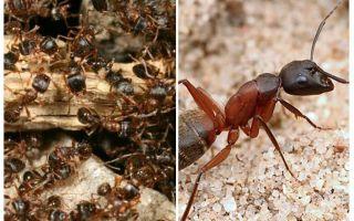 النمل الغابات الحمراء