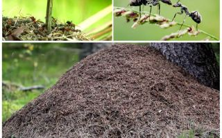 على أي جانب من شجرة النمل سوف يبني عش النمل