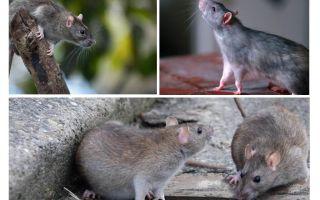 كم سنة تعيش الفئران