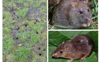 الفئران الأرض