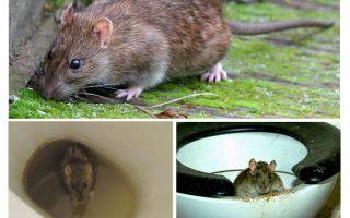 يمكن للفئران الخروج من المرحاض