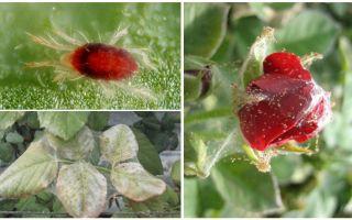 كيفية معالجة وردة من سوس العنكبوت