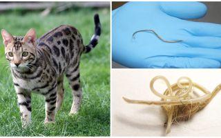 أعراض وعلاج داء الصفر في القطط