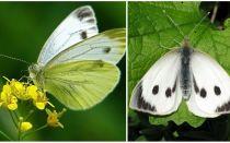 وصف وصور من اليرقات والفراشات الملفوف