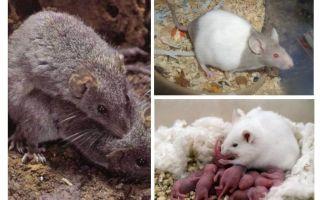 تربية الفئران