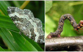 وصف واسم وصورة من أنواع مختلفة من اليرقات