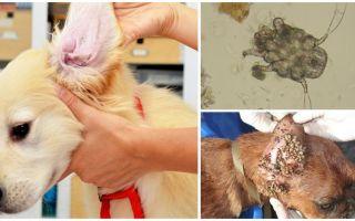 قطرة الأذن في الكلاب