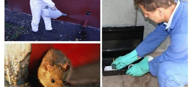 إبادة الفئران والجرذان بواسطة خدمات متخصصة