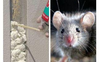 هل تأكل الفئران الرغوة