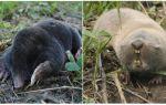 ما هو الفرق بين الخلد والفئران الخلد؟