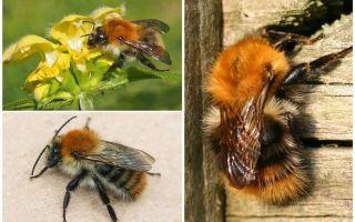 وصف وصور نحلة الحقل