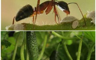 كيفية التعامل مع النمل في الحديقة مع الخيار