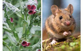 جذر النبات الأسود من الفئران