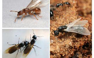 النمل المجنح