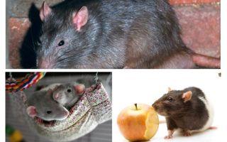 حقائق الفئران مثيرة للاهتمام