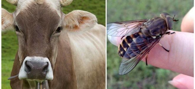 كيفية علاج البقرة من gadflies و gadflies في المنزل