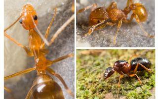 كم من الكفوف النمل