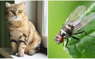 ماذا تفعل إذا أكلت قطة أو قطة ذبابة