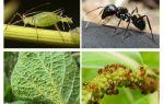 نوع العلاقة بين النمل والمن