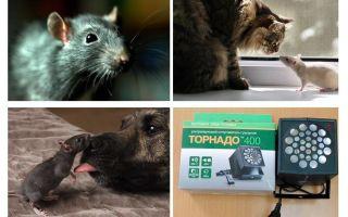 ما هي الفئران والجرذان تخاف من؟