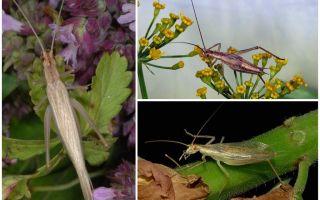 وصف وصور لعبة Crimean Cricket