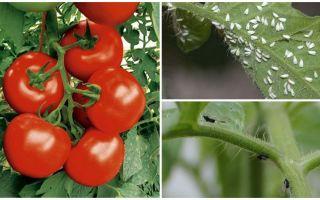 كيفية معالجة الطماطم من الذباب الأبيض والأسود