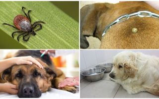 أعراض وعلاج piroplasmosis في الكلاب