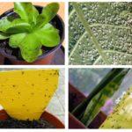 الذباب في النباتات الداخلية
