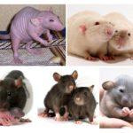 فئران مزخرفة