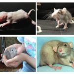 الجراء الفئران