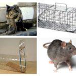 فئران الصيد