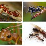 جسم النمل