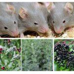 الأعشاب من الفئران