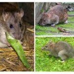 الفئران الرمادي