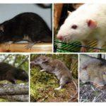 فئران الأنواع