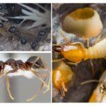 النمل الشتوي