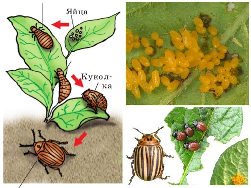 دورة حياة خنفساء البطاطس كولورادو