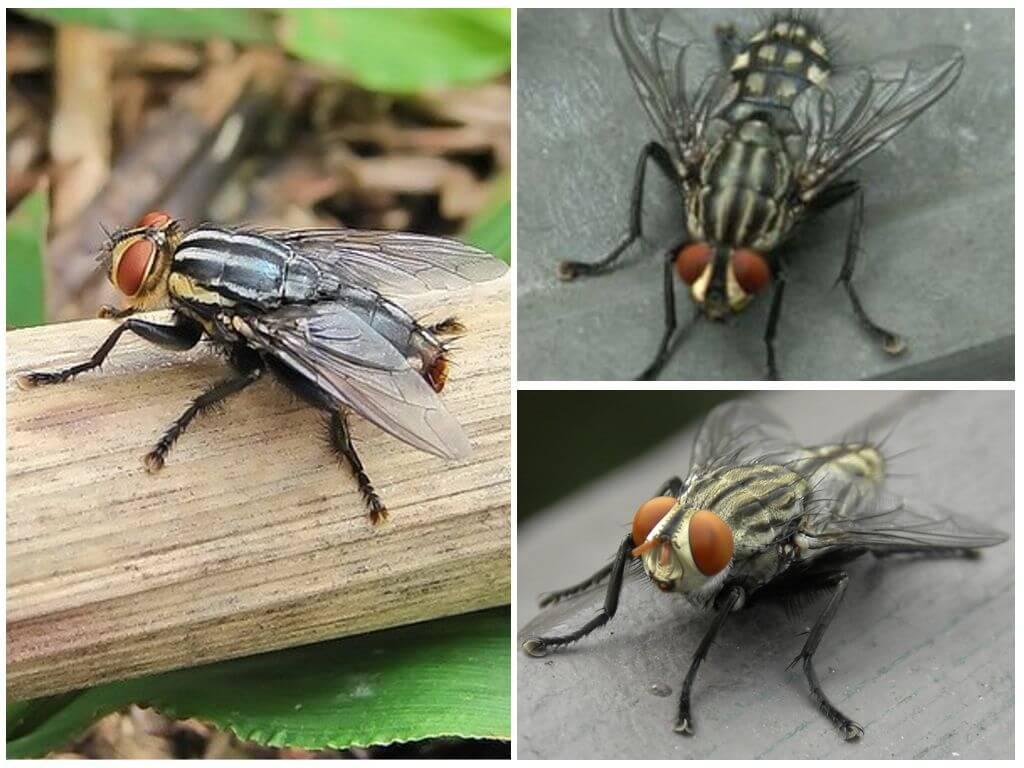 جلد الإنسان ذبابة
