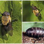 gadfly المعدة