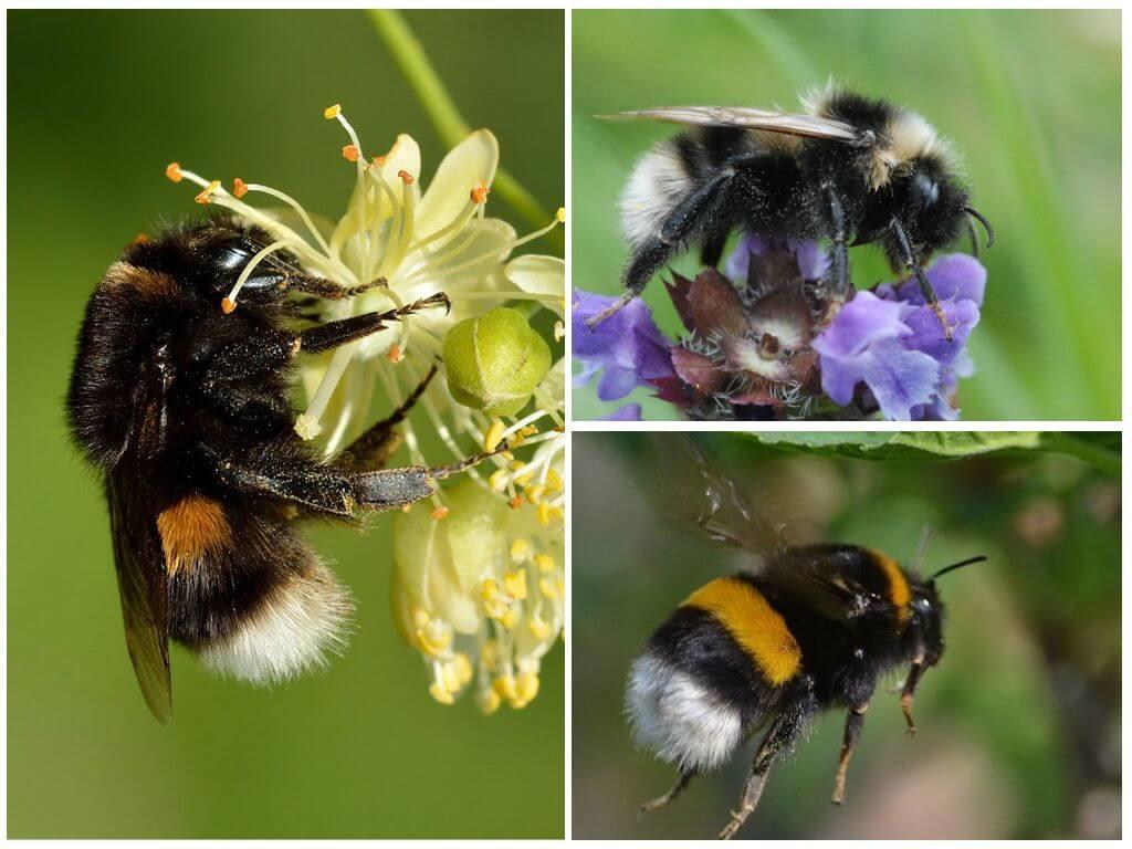 النحل الملونة