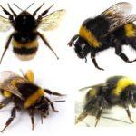 مظهر النحلة