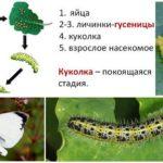 دورة تطوير الفراشة السلطانية