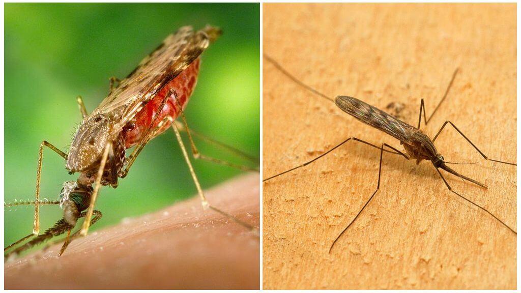البعوض الملاريا