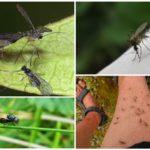 الذبابيات والبعوض